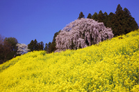 Co-star of the weeping cherry yellow and pink Kassenba Stock photo [1194398] Weeping