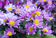 Chrysanthemum Stock photo [1195000] Natural