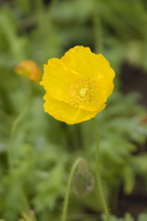 Poppy flower Stock photo [39573] Poppy