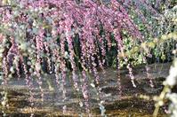 Weeping plum Miya Seongnam Stock photo [1278713] Weeping