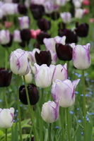 A trimming of tulip and black tulip Hanakage Stock photo [1278758] Tulip