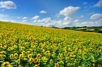 Hills and sky of sunflower Stock photo [1283542] Sunflower
