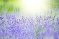 Lavender Stock photo [1283599] Lavender