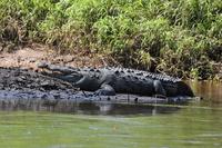 Crocodile to be basking in the sun Stock photo [1284337] Crocodile