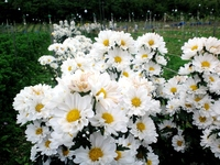 DenTeruKiku Stock photo [1285553] Chrysanthemum