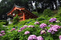 Temple gate and hydrangea garden Stock photo [1286065] Temple