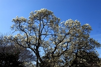 Yulan magnolia Stock photo [1286785] Manglietia