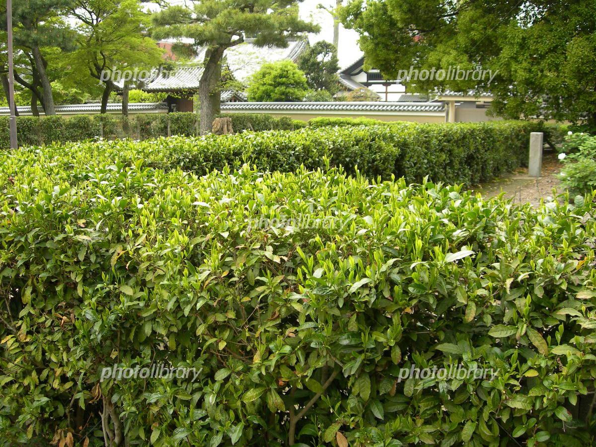 京都建仁寺の茶の木の生垣 写真...