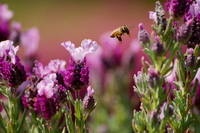 French lavender and bees flying Stock photo [1369810] French