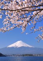 Cherry Kawaguchiko banks and Mount Fuji Stock photo [1373420] Mt.