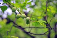 Mukojima hundred Garden of plum fruit Stock photo [1375345] Mukojima