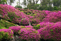 Cliff of azalea Stock photo [1375595] Azalea