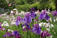 Iris of Horikiri iris garden Stock photo [1377123] Iris