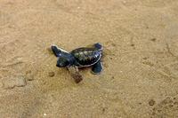 Sea turtle baby Stock photo [1459129] Sea