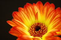 Gerbera Stock photo [1461074] Gerbera