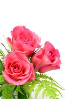 Rose Stock photo [1462109] Rose