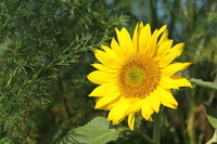 Sunflower Stock photo [1465631] Sunflower