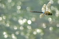 Dragonfly flying Stock photo [1556246] Dragonfly