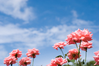 Pink roses and blue sky Stock photo [1557485] Flower