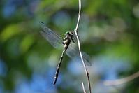 Anotogaster sieboldii Stock photo [1559059] Dragonfly