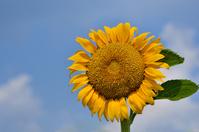 Sunflower field summer of smile Stock photo [1559177] Sunflower