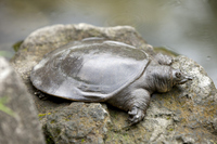 Chinese soft-shelled turtle Stock photo [1561349] Chinese