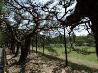 栗林公園の松の写真素材