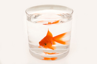 Goldfish in the cup Stock photo [1561688] Goldfish