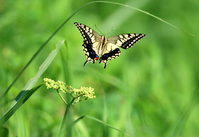 Flight of the common yellow swallowtail Stock photo [1562139] P.