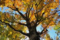Tree of beech Stock photo [1564042] Beech