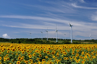 Sunflower fields and windmill group Stock photo [1565271] Sunflower
