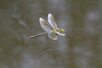 Flying Anax parthenope Stock photo [1565351] Anax