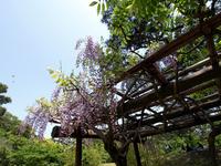 栗林公園の藤棚の写真素材