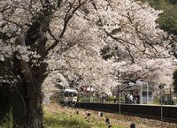 Shionosawa Station of cherry blossoms Stock photo [1566780] Cherry
