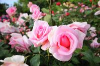 Pink Roses Stock photo [1567060] Bara-en