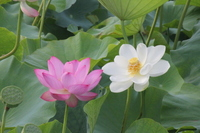 Lotus Flower Stock photo [1567109] Lotus