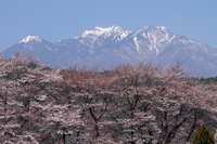 Of cherry trees and snow of MakotoHara Yatsugatake Stock photo [1568462] Cherry