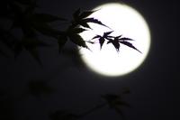 Moonlit night of maple Stock photo [1568766] Full