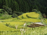 Kashihara of terraced rice fields of autumn Stock photo [1664978] Tokushima