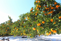 Orange grove Stock photo [1665319] Orange