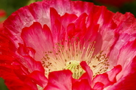 Poppy petals Stock photo [1665756] Poppy