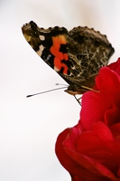 Vanessa to stay in autumn rose Stock photo [1667404] Butterfly