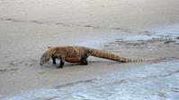 Wild Komodo dragons that inhabit the world heritage Komodo National Park Stock photo [1670087] Komodo