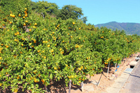 Landscape of orange groves Stock photo [1670390] Mandarin