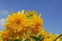 Yae of sunflower Stock photo [1671318] Sunflower