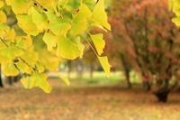 Ginkgo biloba leaf Stock photo [1672124] Ginkgo