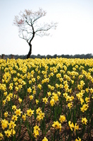 One trees and narcissus field Stock photo [1672140] Narcissus