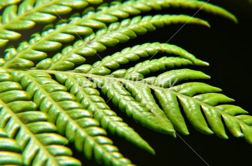 ヒカゲヘゴの画像 p1_6