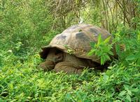 Galapagos giant tortoise Stock photo [1839820] Creatures
