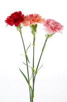 Three colors Carnation Stock photo [1840651] Carnation